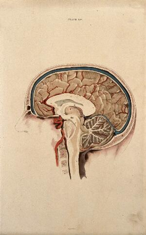 view Brain: lateral section. Coloured line engraving by W.H. Lizars, ca. 1826.