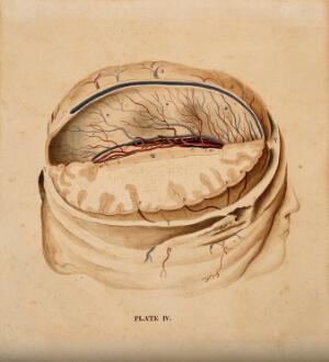 view Brain: dissection showing a section of the right hemisphere. Watercolour after(?) W.H. Lizars, ca. 1826.