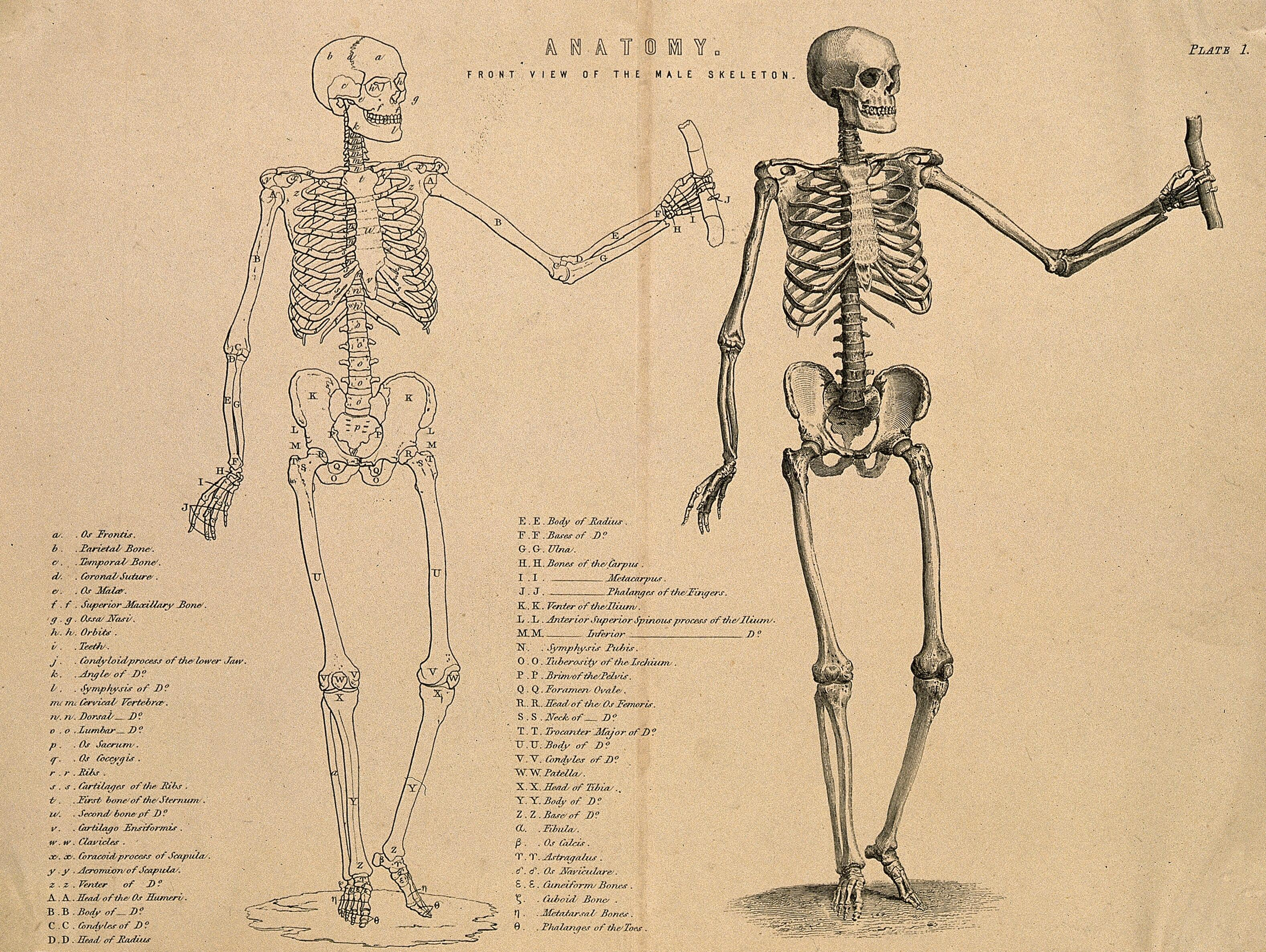 diagram of male skeleton male skeleton seen from the front  with left arm extended two  male skeleton seen from the front  with