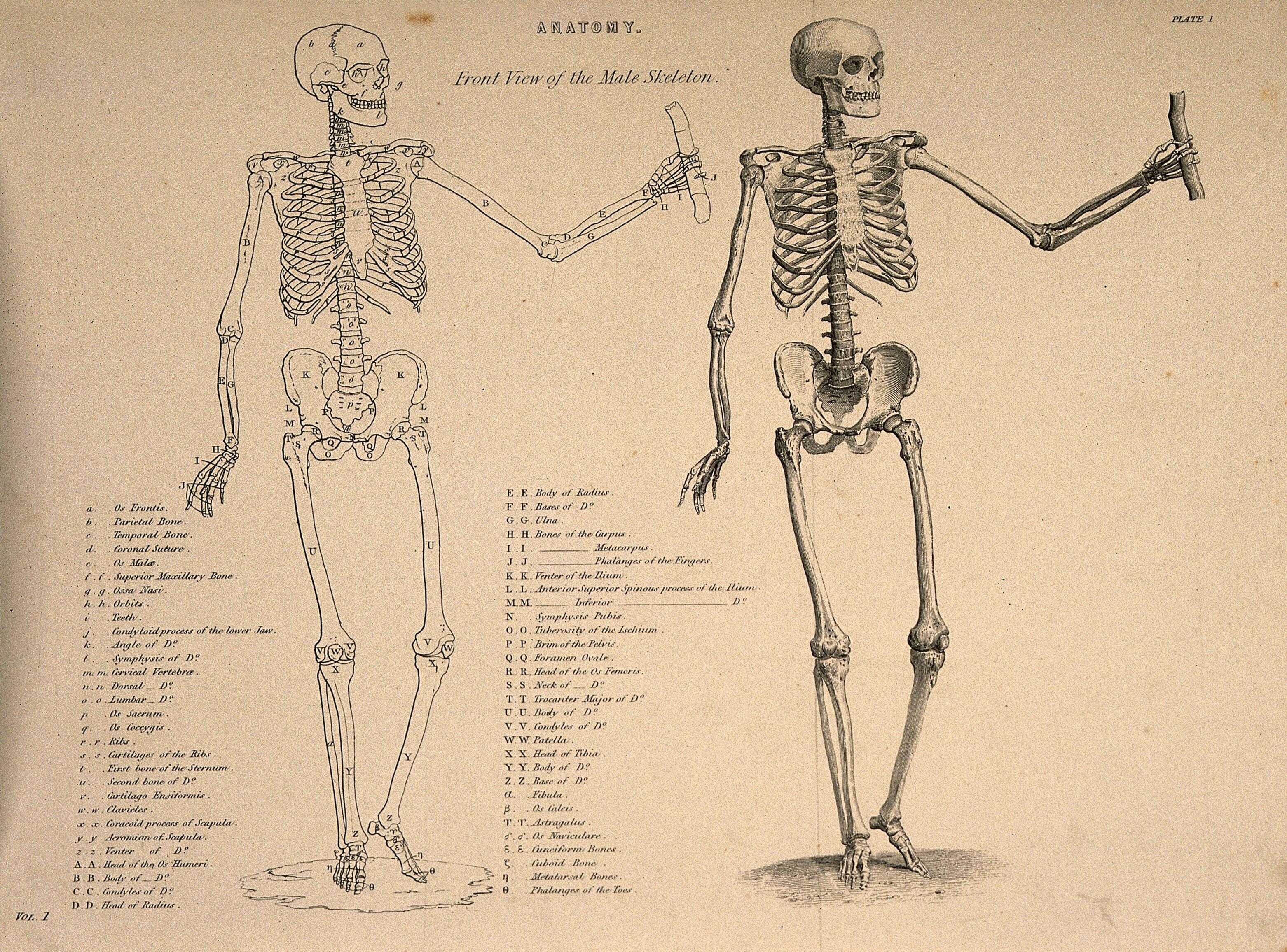 Male Skeleton Seen From The Front With Left Arm Extended Two