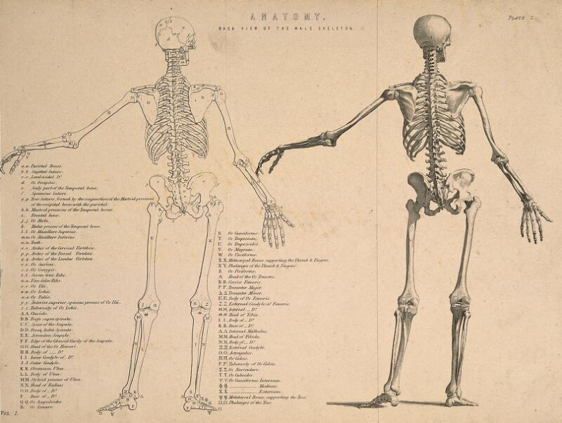 Male Skeleton Seen From Behind With Left Arm Extended Two Figures