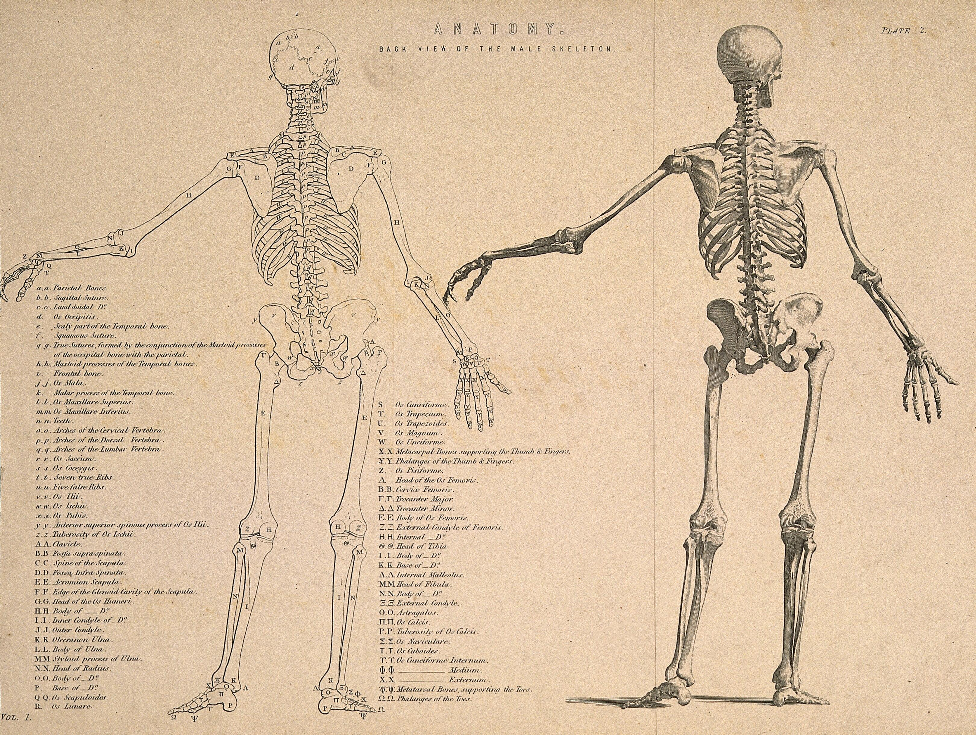 diagram of male skeleton male skeleton seen from behind  with left arm extended two  male skeleton seen from behind  with
