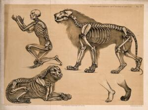 view Skeleton of a man, with the those of a male and female lion: five figures, including a comparison between a human foot and that of a lion. Lithograph by B. Waterhouse Hawkins, 1860.