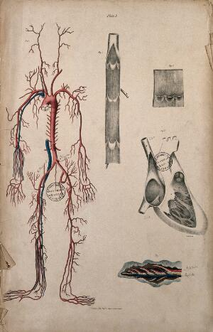 view Blood-vessels and their role in circulation of blood. Coloured lithograph by William Fairland, 1837.