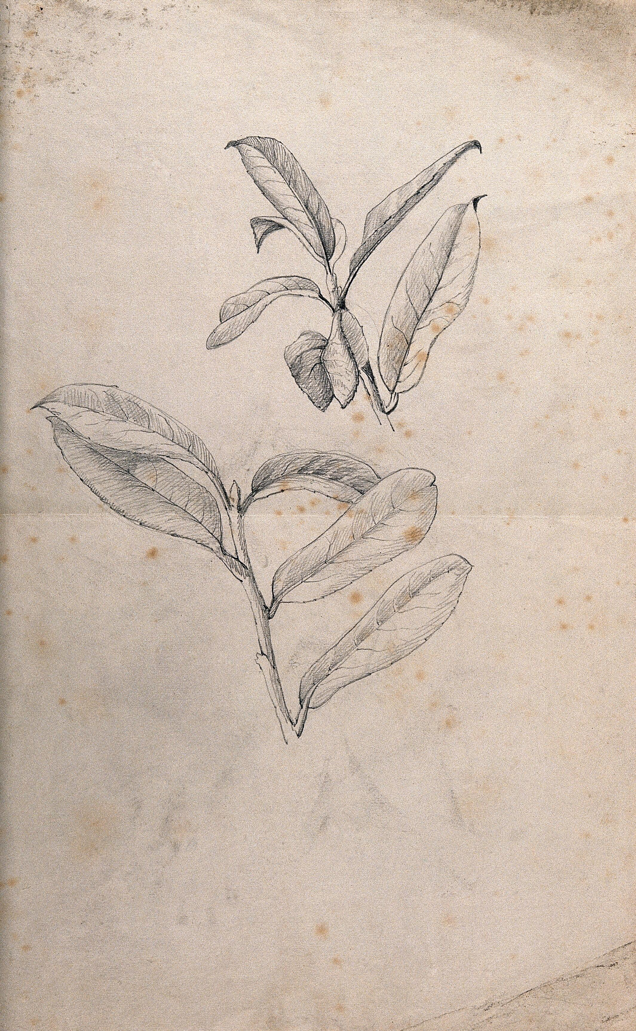 Leaves of a plant pencil drawing by j mongrédien ca 1880