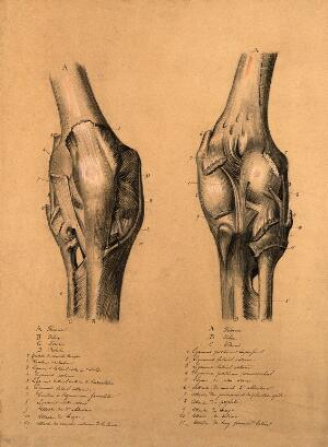 view The knee joint: two studies, showing the bones and ligaments of the knee. Pencil and black chalk drawing, with bodycolour, 1840/1880?