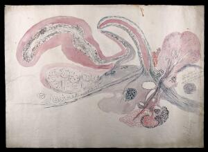 view Brain of a whiting: figures showing a dissection of the brain. Watercolour, possibly by D. Gascoigne Lillie, ca 1906.