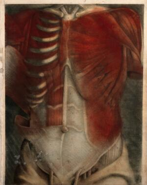 view Muscles of the thorax and abdomen: écorchés figure. Colour mezzotint by J. F. Gautier d'Agoty after himself, 1745/1746.