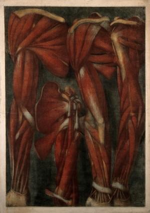 view Muscles of the arm and shoulder: four écorchés. Colour mezzotint by J. F. Gautier d'Agoty after himself, 1745/1746.