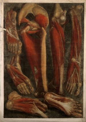 view Muscles and bones of the pelvis, leg and foot: seven écorchés. Colour mezzotint by J. F. Gautier d'Agoty after himself, 1745/1746.