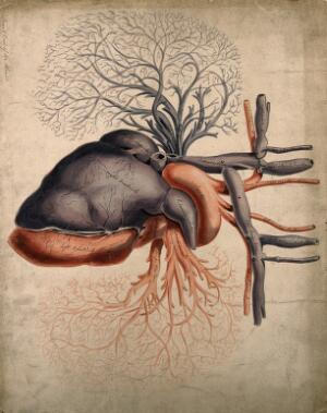 view Front view of the heart, with arteries and blood-vessels attached. Watercolour, 18-- (?).