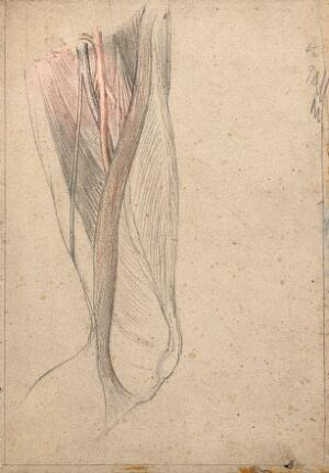 view The muscles, tendons, arteries and veins of the thigh. Pencil and crayon drawing by J.C. Whishaw, 1852/1854.