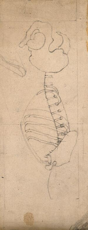 view Outline drawing showing the bones of the torso and the pelvis: side view. Pencil and crayon drawing by J.C. Whishaw, 1852/1854.