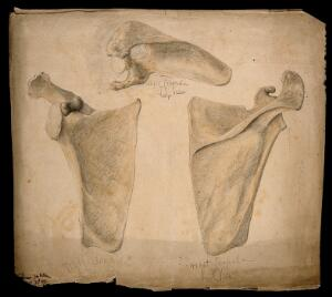view The right scapula: three figures. Watercolour, pencil and crayon drawing by J.C. Whishaw, 1853.