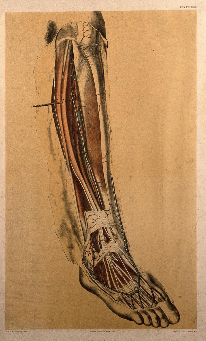 Dissection Of The Back Of The Lower Leg Showing The Muscles