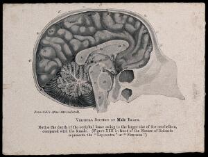 view A male brain, sectioned vertically. Process print, 1901, after etching, 1809.