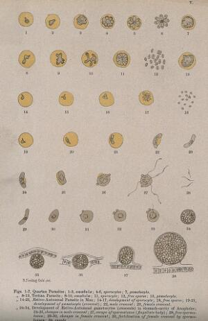 view Malaria parasites seen through a microscope. Colour lithograph after R. Fielding-Ould, ca. 1905.