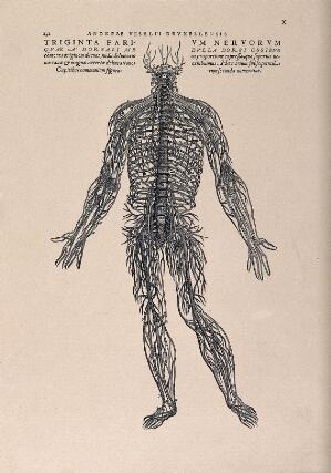 view An arrangement of the spinal nerves. Photolithograph, 1940, after a woodcut, 1543.