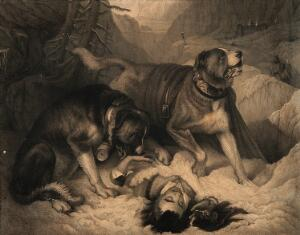 view Two St. Bernard dogs with an avalanche victim, one tries to revive him while the other alerts the rescue party. Line engraving by J. Landseer, 1831, after E. Landseer.