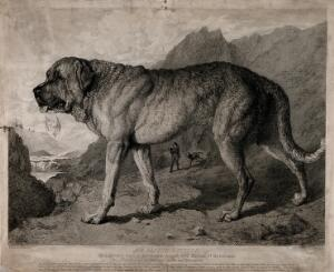 view St. Bernard Dog with mountainous background. Etching by T. Landseer after E.H. Landseer.