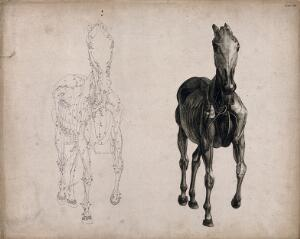 view A horse, seen from the front: two écorché figures showing the muscles and blood-vessels, one an outline drawing, the other a tonal drawing. Engraving with etching by G. Stubbs, 1766.