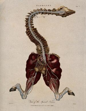 view Dissection of a horse, showing the spinal column, head and hind legs, and associated nerves. Coloured engraving by J. Pass after Harguinier, 1805.
