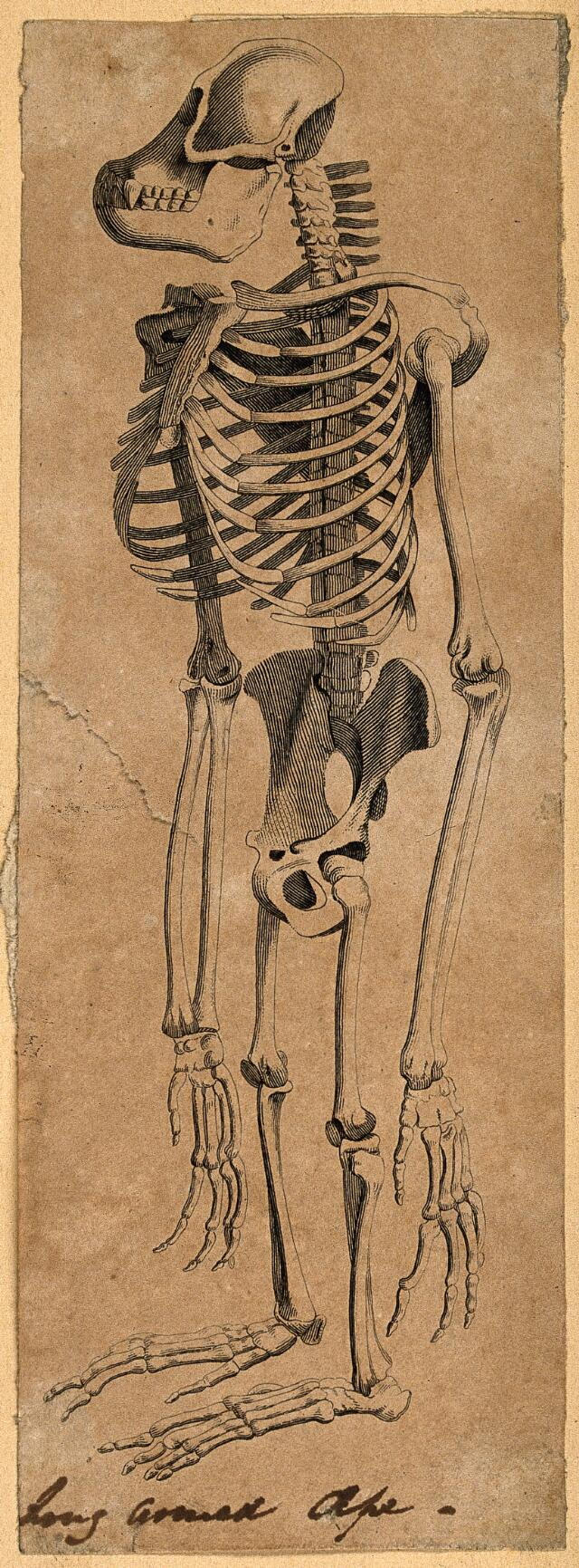 Collections search: HUMAN SKELETON | Wellcome Collection