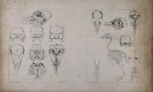 view Skeleton and skull bones of a bird: eight figures. Lithograph by J. Erxleben, after C.W. Parker, 1840/1860?