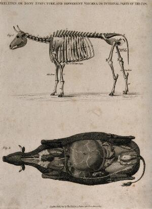 view Skeleton and dissection of a cow: two figures, above, a side view of the skeleton, below, a dissection of the underside of a cow, showing the internal organs. Etching, 1823.