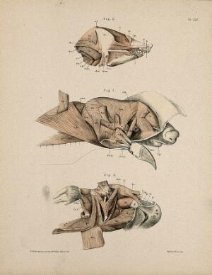 view Dissections of the head of a mole: three figures, showing the musculature of the animal's head and neck. Lithograph by E. Wilson and F.W. Brookman, 1880/1900?