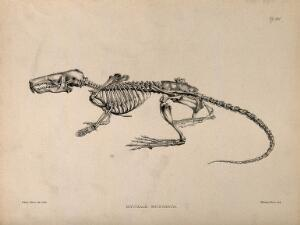 view Skeleton of a desman (Myogale Moschata): an amphibious, insectivorous mammal allied to the mole family. Lithograph by E. Wilson, 1880/1900?