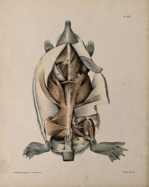 view Dissection of a mole: view of the underside of the animal, showing the musculature. Lithograph by R. Mintern after F.W. Brookman, 1880/1900?
