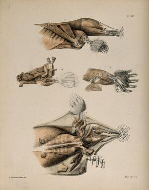 view Dissections of a mole: four figures, showing the muscles of the head and limbs. Lithograph by F.W. Brookman, 1880/1900?