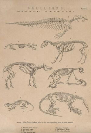 view Skeletons of a dugong (halicore), a sheep, a pig, a mole, a three-toed sloth, a black rat and an anteater. Line engraving, 1830/1870?
