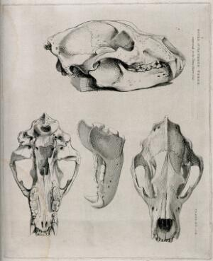 view Skull of a three-year-old brown bear: four figures, showing the skull and jaw-bones. Etching, 1840/1870?