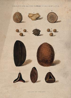 view Stones found in oxen, sheep and pigs: eleven figures. Coloured etching, 1840/1860?