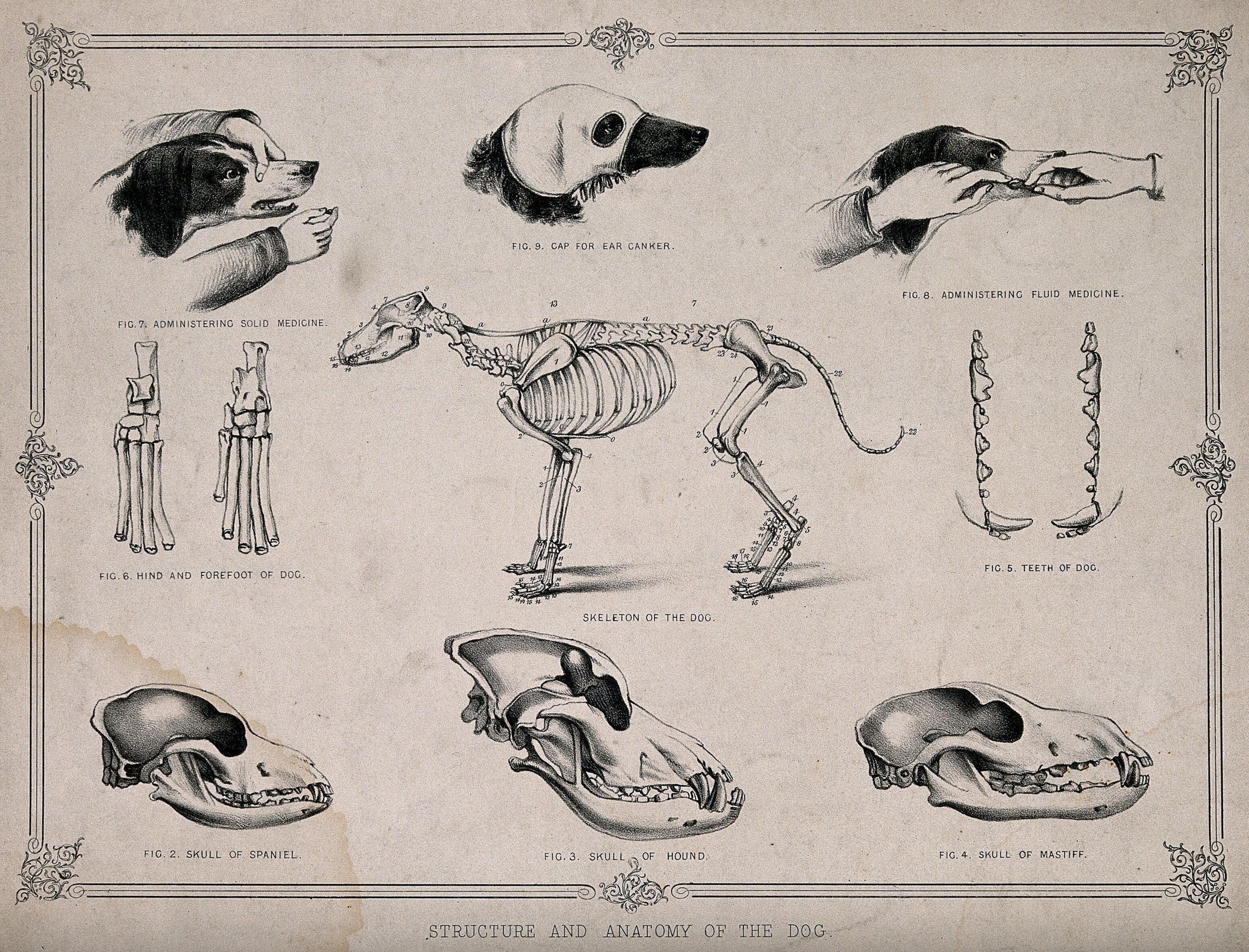 Anatomy Of A Dog Nine Figures Showing The Skeletons And Skulls Of