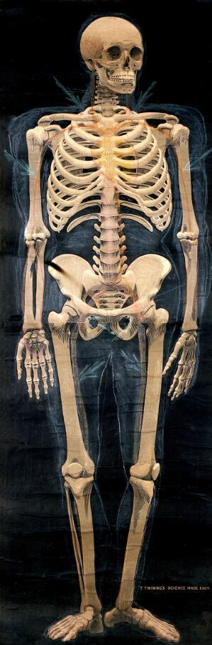 view Human skeleton: anterior view. Chromolithograph (?).