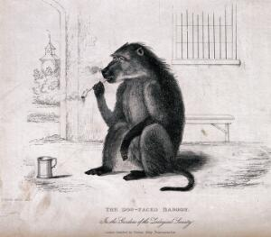 view A baboon sitting on the ground with a smoking pipe and tankard. Etching with stipple by W. Panormo after himself.