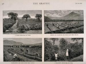 view Four scenes of work on a coffee plantation in Guatemala. Wood-engravings by G. Andrews, c. 1877, after photographs by Muybridge.