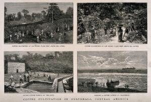 view Four scenes of work on a coffee plantation in Guatemala. Wood-engravings by G. Andrews, c. 1877, after photographs by E. Muybridge.