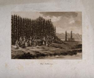 view Hops being cut down and harvested in the field. Aquatint, c. 1786.