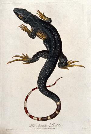 view A monitor lizard. Coloured etching by Barlow after J. C. Keller.