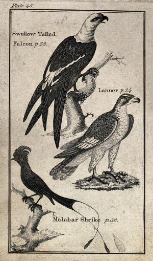 view Above, a Swallow Tailed Falcon, middle, a Lanner, below, a Malabar Shrike. Wood engraving after T. Bewick.