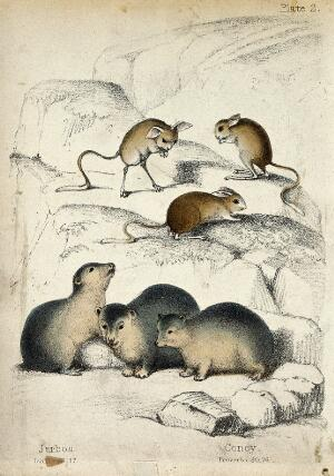 view Above, three jerboas, below, three conies. Coloured chalk lithograph.