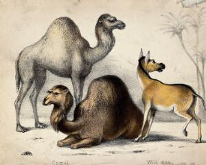 view Two camels and a wild ass before palm trees. Coloured chalk lithograph.