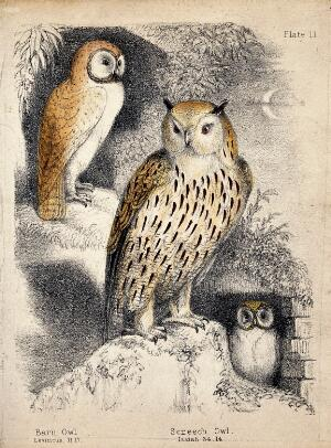 view A nocturnal scene with three owls. Coloured chalk lithograph.