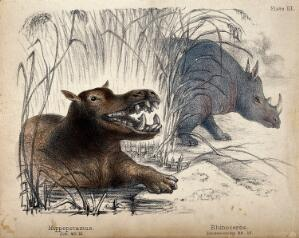 view On the left, a hippopotamus climbing out of the water. On the right, a rhinoceros coming out of the reeds. Coloured chalk lithograph.