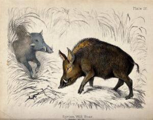 view Two wild boars on a clearing. Coloured chalk lithograph.