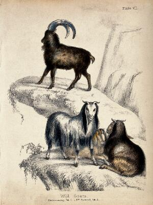 view Three female wild goats sitting on a mountain crag with a male wild goat standing above at greater height. Coloured chalk lithograph.